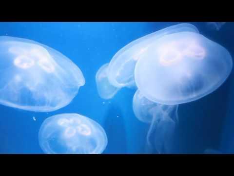 Moon jellies at the Santa Monica Pier Aquarium