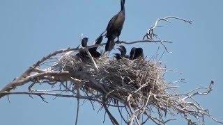 Double-crested Cormorant nest