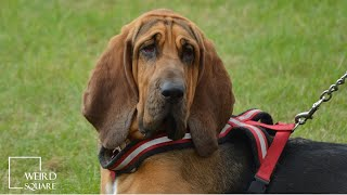 INTERESTING FACTS on bloodhound   gentle dog who is nonetheless tireless in following a scent