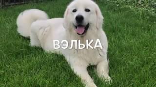 Подгалянская овчарка Вэлька (АНЕКА БОС)