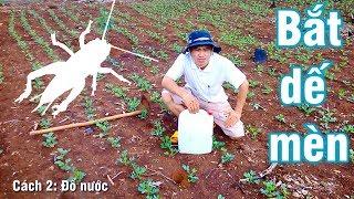 Cách bắt dế mèn, cách bắt dế cơm (how to catch crickets)