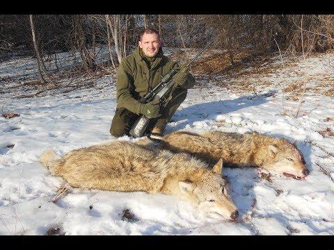 Охота на волка. Волчьей тропой.
