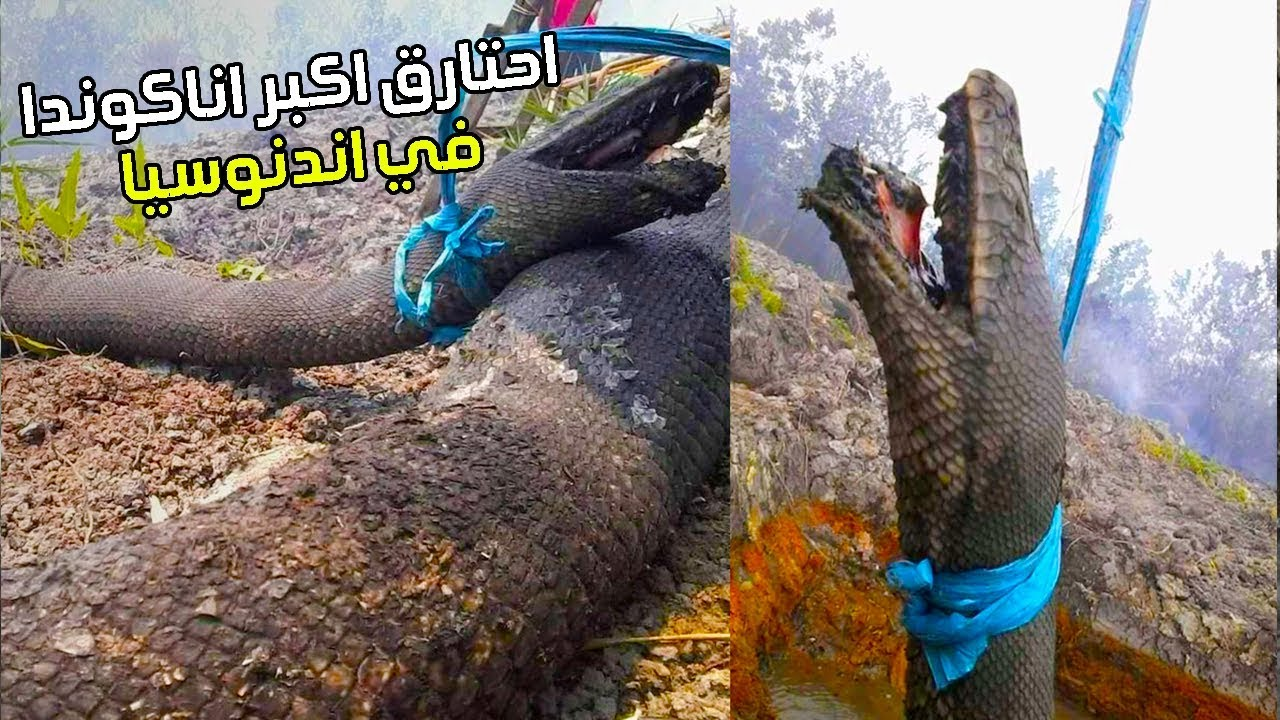 حقيقة محزنة وراء الثعبان العملاق المحروق في اندونيسيا !!