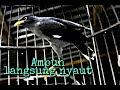 Burung Jalak Kebo Memanggil Lawan Pancingan Super Mantap  Mp3 - Mp4 Download
