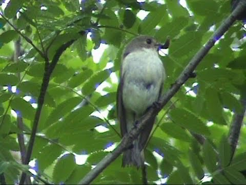 Pied and Spotted Flycatcher singing