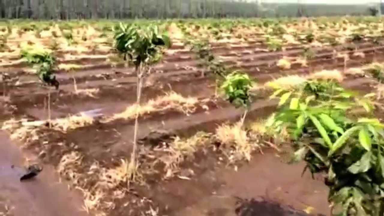 Mahogany tree farm at Gothan India - YouTube