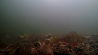 Underwater River Lee/Lea Broxbourne Perch
