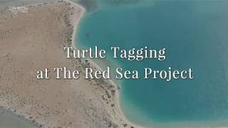 Turtle Tagging at The Red Sea Project