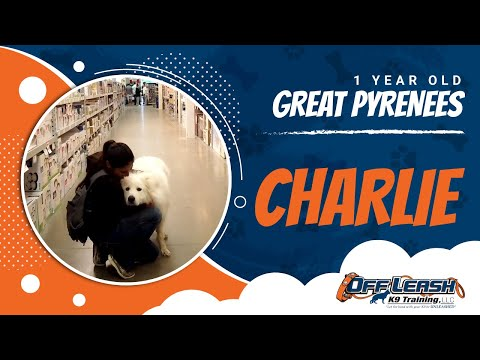 Great Pyrenees, Charlie | Great Pyrenees Dog Trainers