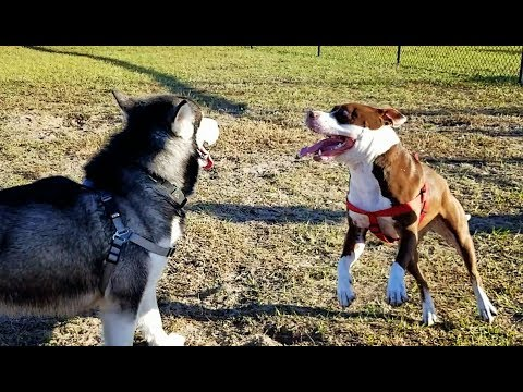 Tonka the Malamute Meets Zen The Chocolate PitBull!!