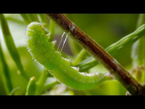 Caterpillar Cocoon Timelapse | BBC Earth