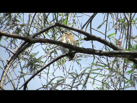 Birdwatching Colima | Ferruginous Pygmy-Owl