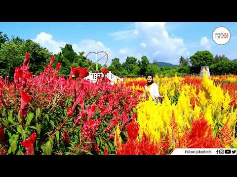 taman-bunga-celosia-pagoda-mix,-lhoong,-aceh-besar---aceh-info