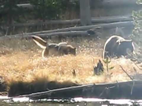 Bear vs. Wolves on Elk at Yellowstone