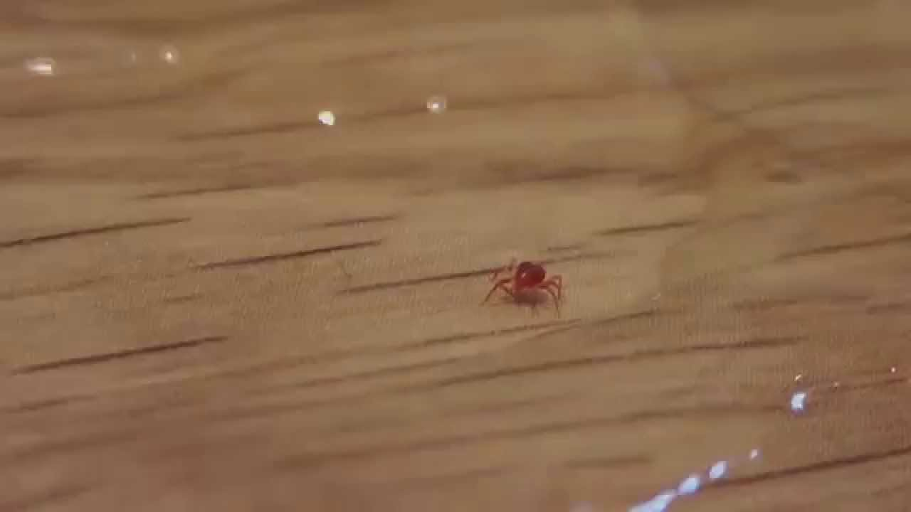 Tiny Red Spider Mite Tetranychus Urticae Youtube