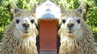 What Sound Does A Llama Make? Llama song, sound. Llama farm. Alpaca voice. Lama glama