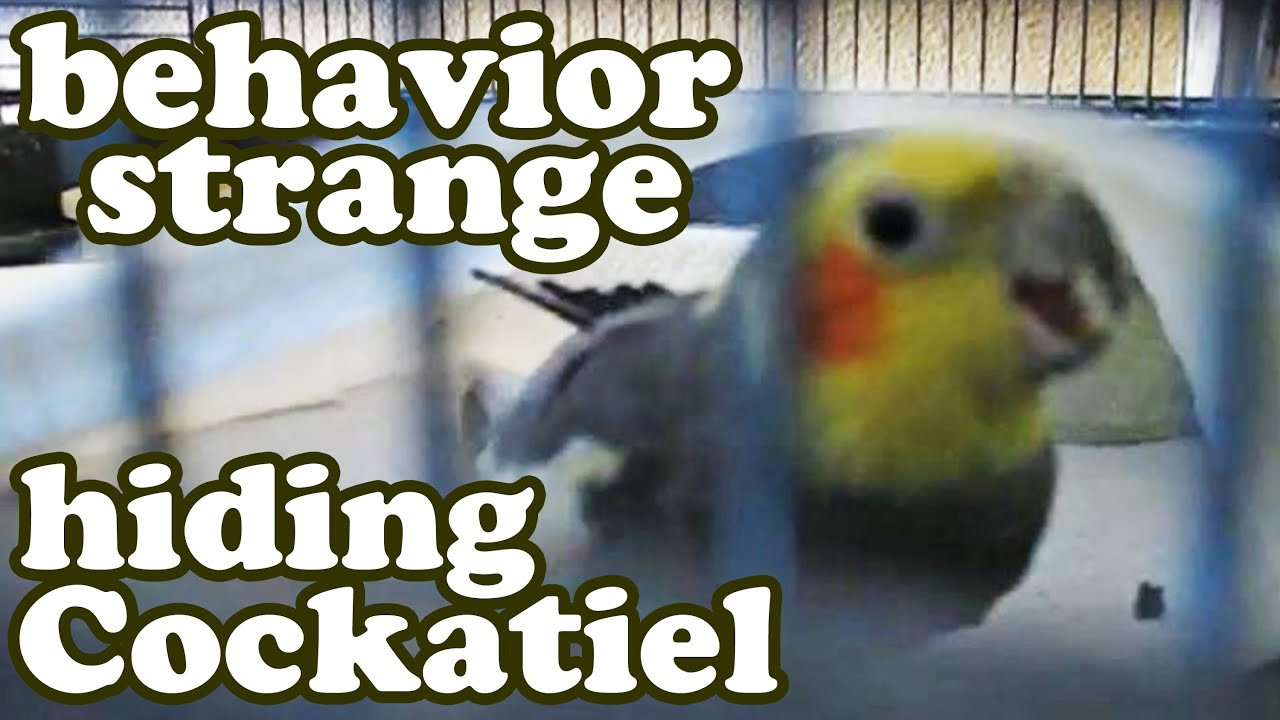cockatiel cockatiels angry bird in cage sounds noises