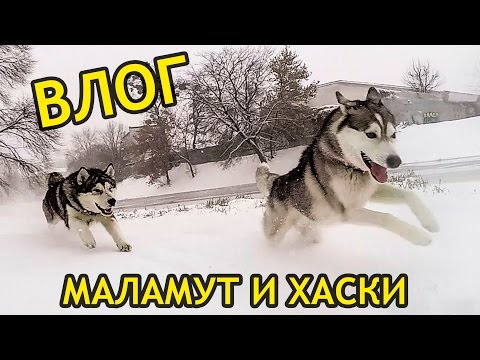 ВЛОГ: ХАСКИ И МАЛАМУТ на прогулке снежной зимой / Vlog Husky Malamute on a walk in snowy winter