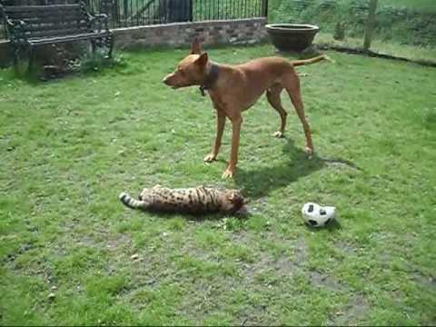 Pharaoh Hound & Bengal Cat Having Fun