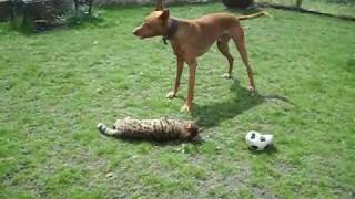 Paroo & Ten playing. Ten was returned to us after 16 month in his n...