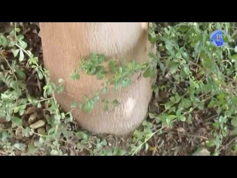 ต้นแผ่บารมีแผ่ร่มเงาได้สวยงามตระการตาสมชื่อจริงๆ : Terminalia ivorensis Chev ; Beautiful
