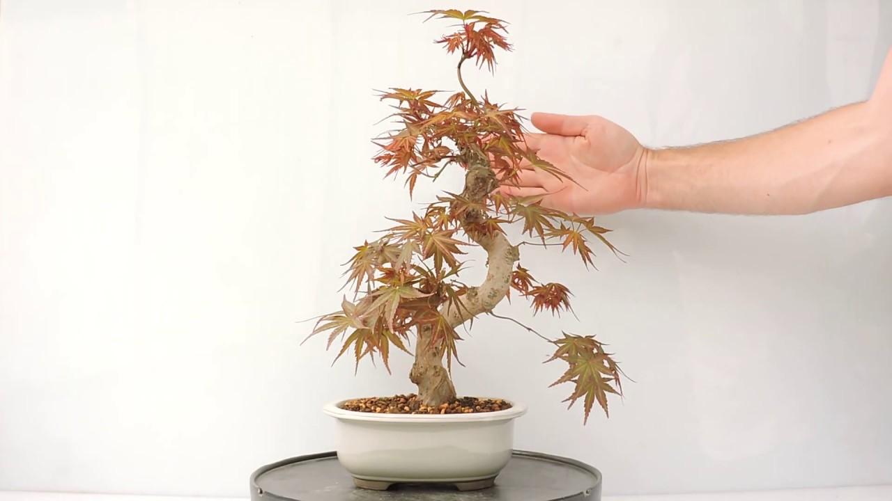Vídeo 360º Bonsai Acer Palmatum Seigai Acp161si Youtube