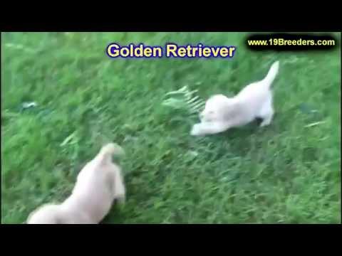 golden-retriever,-puppies,-dogs,-for-sale,-in-juneau,-borough,-alaska,-ak,-19breeders,-badger