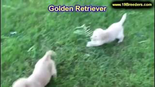 Golden Retriever, Puppies, For, Sale, In, Badger, County, Alaska, Ak, Kink Fairview, College