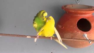 Budgies/parakeets mating & dance in our R.P farm