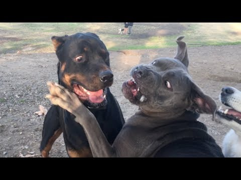 Cane Corso/Pit Guards from Rottweiler