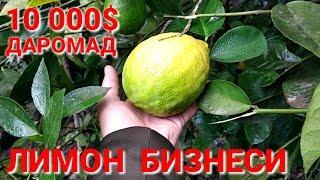 УЗБда ПАРНИК ЛИМОН БИЗНЕС 10 000$ Даромад