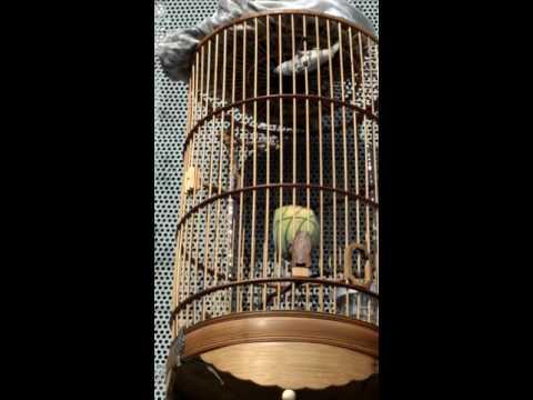 100 chim ốc mít mồi hót  líu 0966855107 Minh