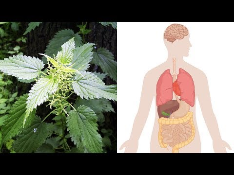 Health Benefits Of Stinging Nettle (Urtica Dioica)