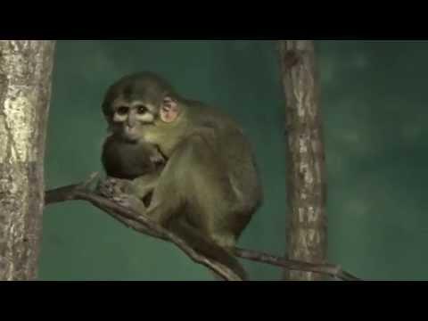 Gabon Talapoin Monkey (Miopithecus ogouensis) Prague Zoo קוף טלפוין גבוני