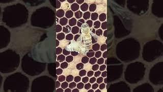 Как появляется на свет пчела