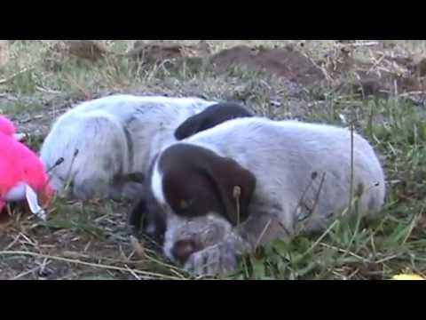 German Wirehaired Pointer Puppies--4 weeks old