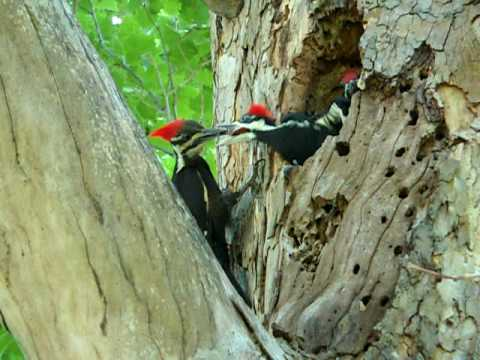 Pileated Woodpecker feeding Her Baby