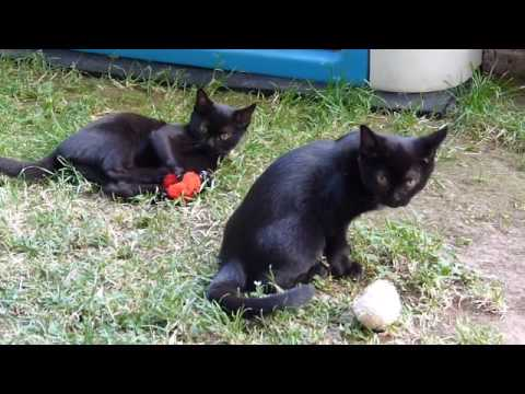 Bombay-Cats and Kittens (14 weeks)
