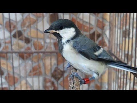 Download Suara Burung Gelatik Mp3 Untuk Masteran Semua Jenis Terlengkap Kicaumania Net