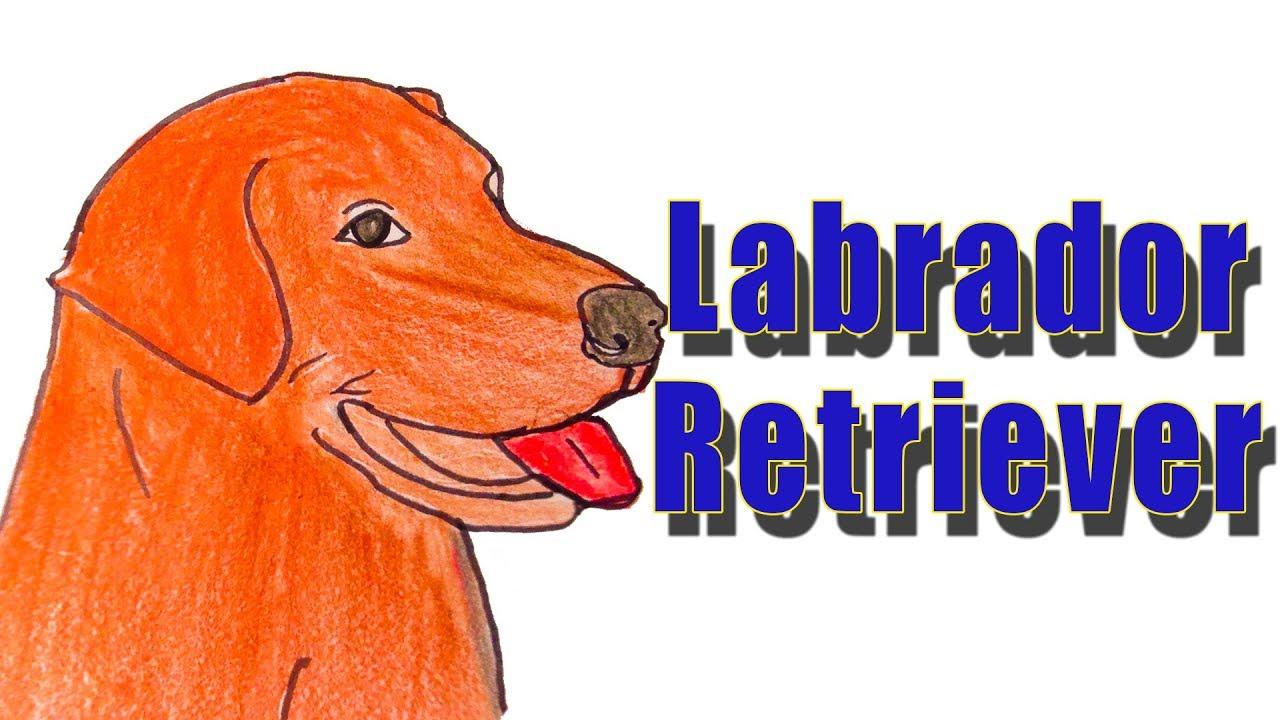 how to draw a labrador retriever
