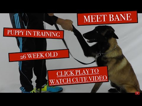 Meet Bane - Belgian Malinois Undergoing Training for Puppies - Wait for it... - Version 2