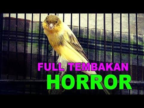 Download Lagu kenari fighter FULL TEMBAKAN HORROORRR