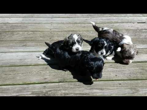 PuppyFinder.com : puppy video