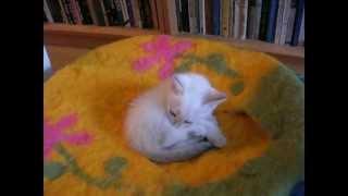 Никто не может помешать месячному котёнку умываться! Тайские кошки - это чудо! Funny Cats