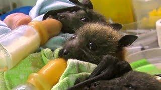 Bat Orphans thumbnail