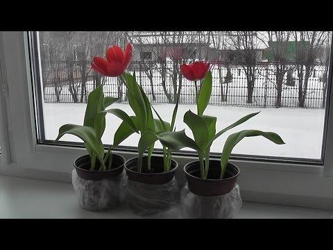 Как вырастить тюльпаны зимой в домашних условиях