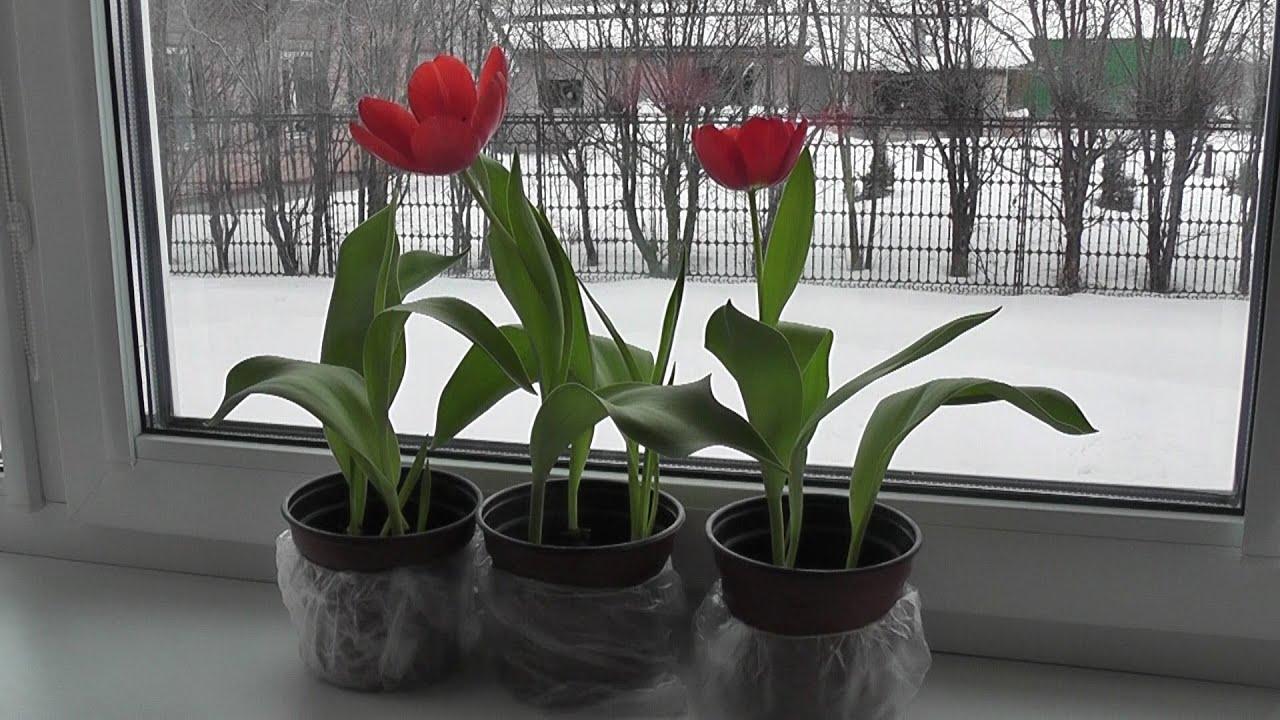 Выгонка тюльпанов в домашних условиях к 8 Марта, когда высаживать, видео