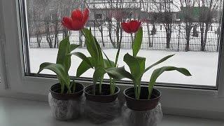 Как вырастить тюльпаны в горшке в домашних условиях?