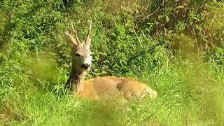 Zwierzęta  Sarny  Mokry koziołek po obfitych deszczach na skraju lasu