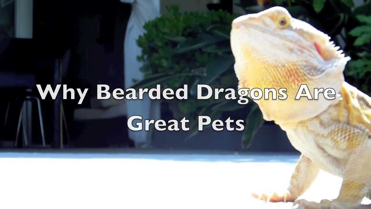 Why Bearded Dragons Make Great Pets